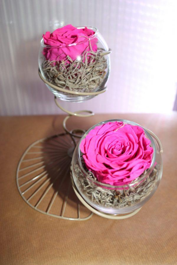 Duo roses éternelles fuschia éole beige