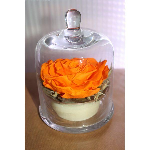 Rose éternelle orange sous cloche champètre