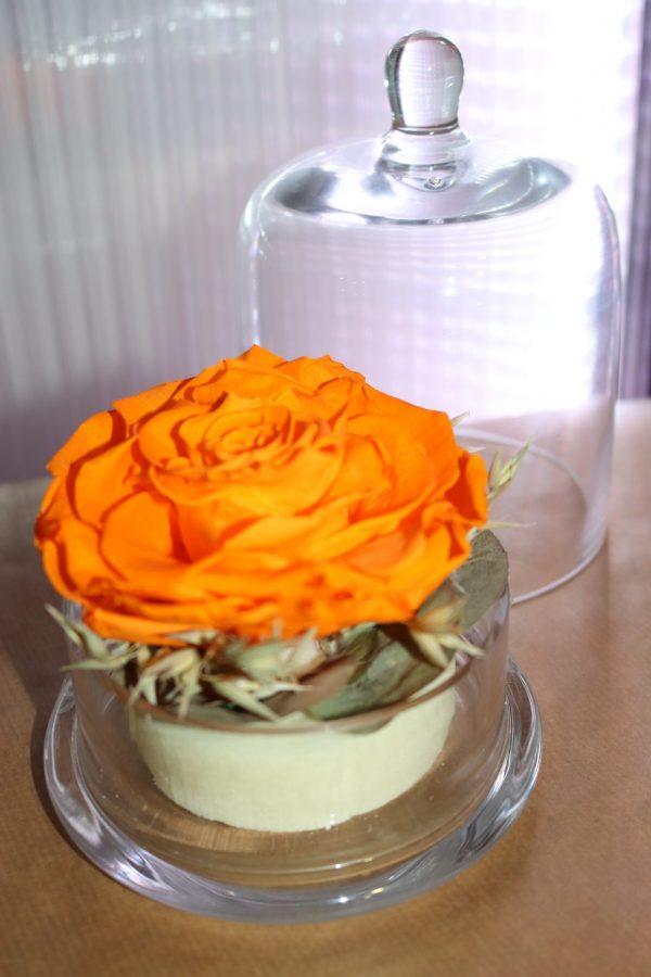 Rose éternelle orange sous cloche champêtre