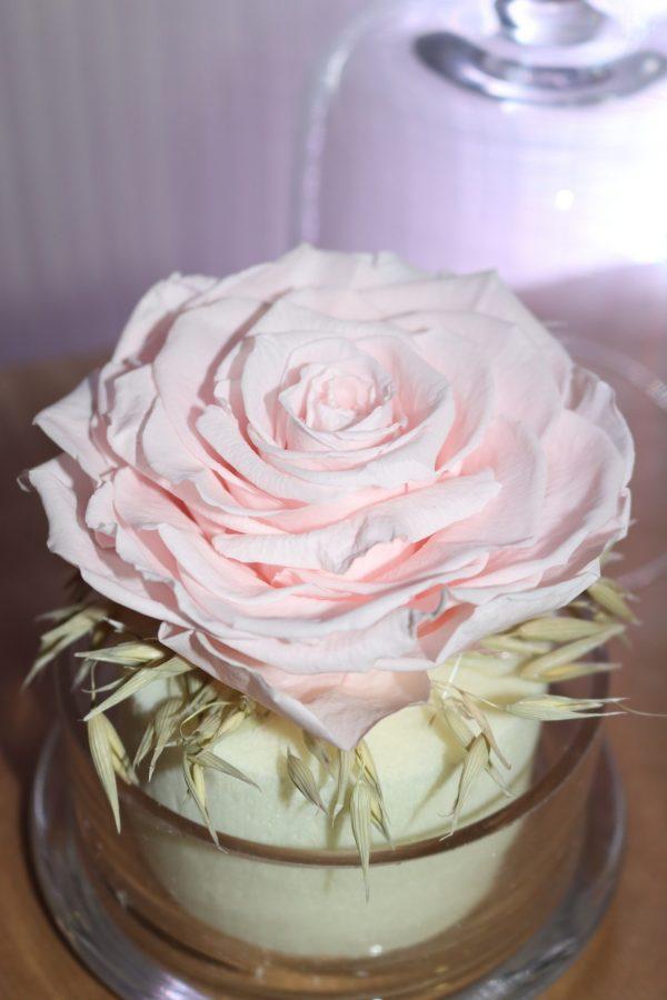 Rose éternelle rose clair sous cloche