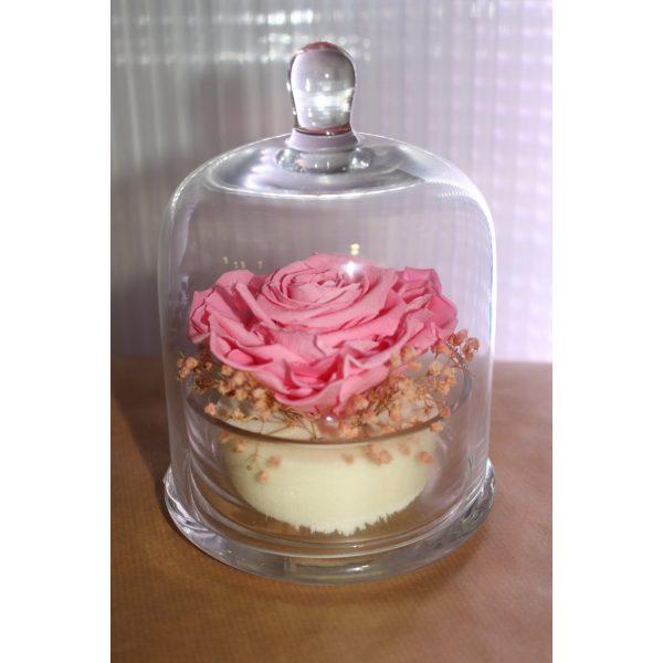 Rose éternelle rose tendre et ses fleurettes sous cloche