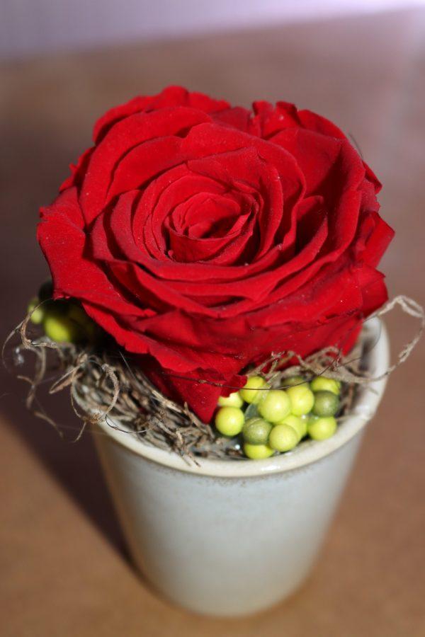 Rose éternelle rouge en pot