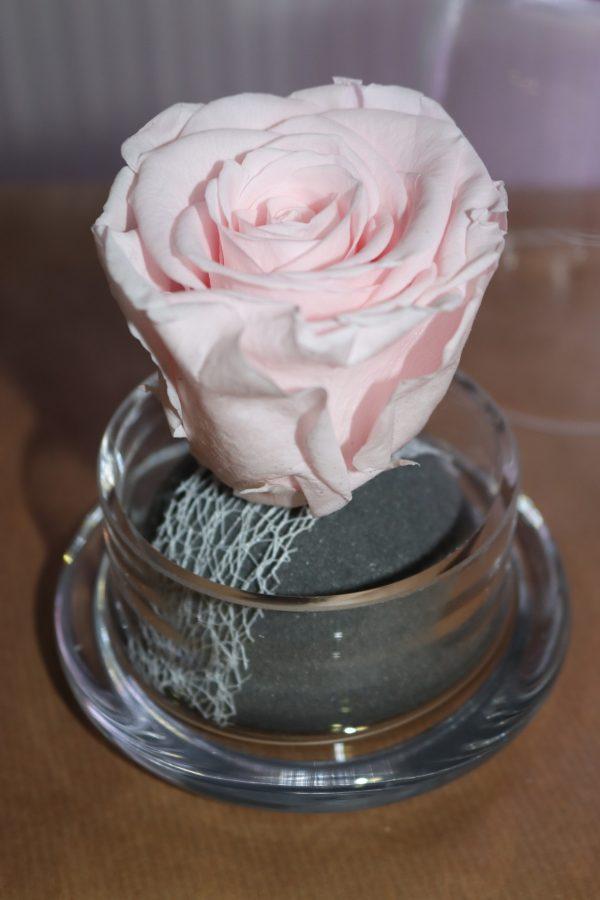rose éternelle rose clair sous cloche petit modèle